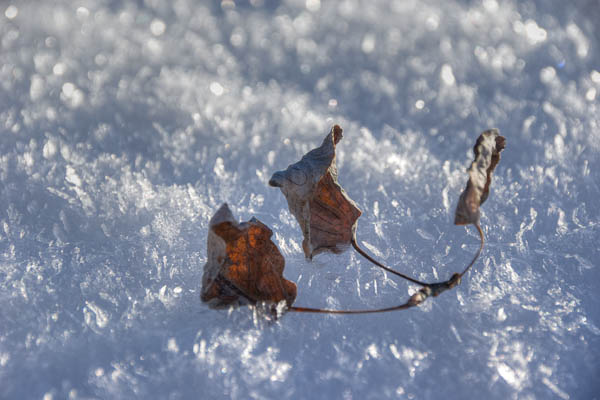 photo: 3 Dead Leaves on Ice