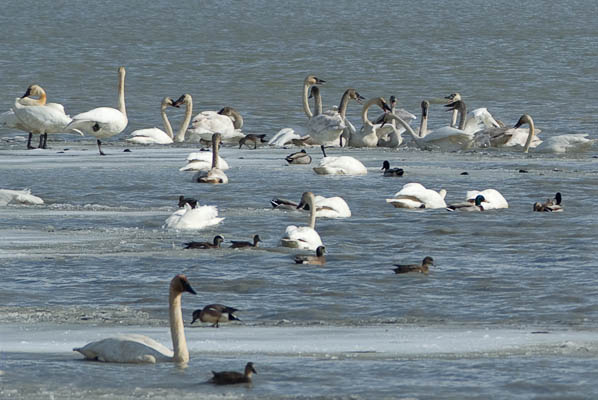 Trumpeter Swans' Band Practice