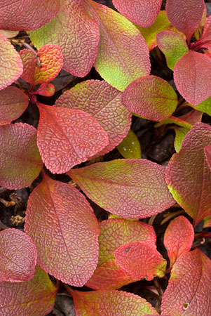 Early autumn color change in bearberry leaves