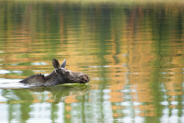 photo: Cow Moose takes