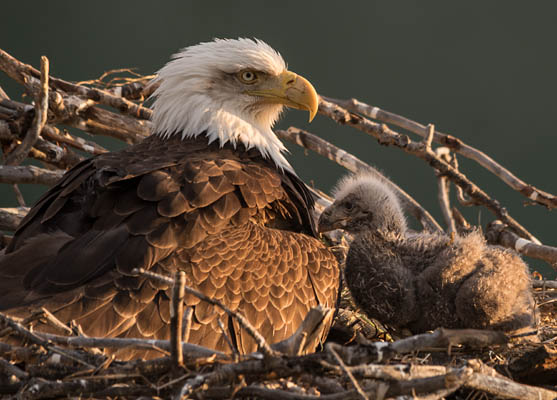 photo: Eagle and Chick