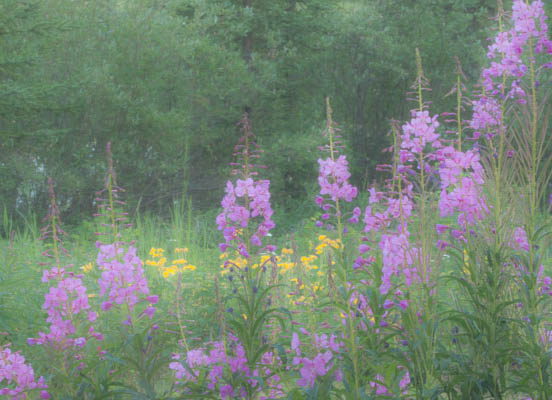 photo: Fireweed and Arnica