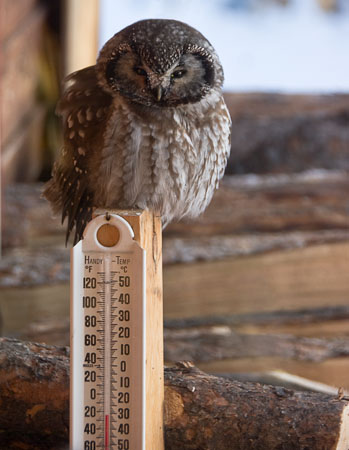 Stunned owl above thermometer at -31°C